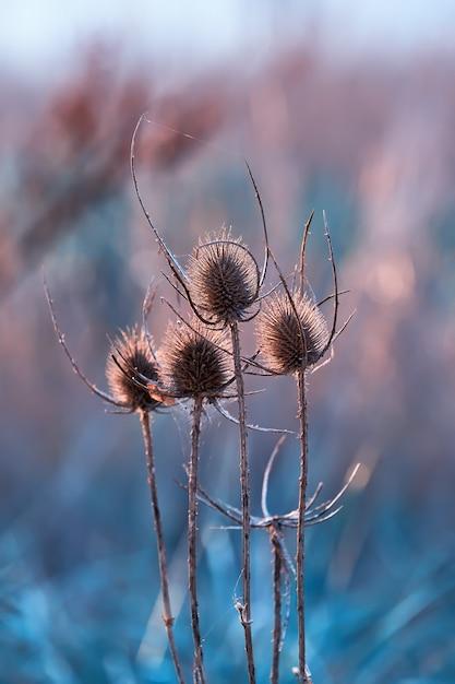 Tête de graine de graines sèches dans les rayons du soleil couchant. gros plan, sauvage, teasel, fleur Photo Premium