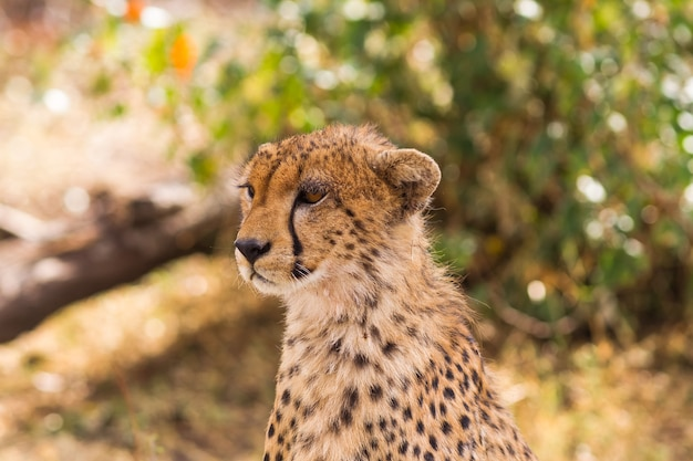 La Tête D'un Grand Guépard Masai Mara Kenya Photo Premium