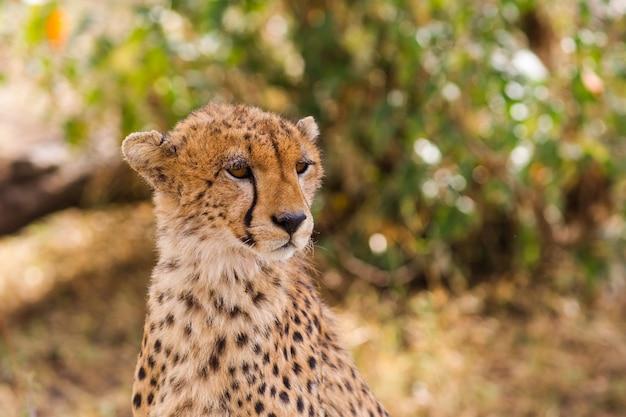 La Tête D'un Guépard Masai Mara Kenya Photo Premium