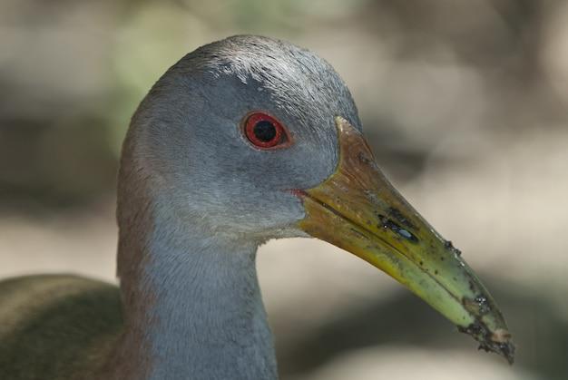 Tête D'un Mignon Oiseau Gallinule Européen Photo gratuit