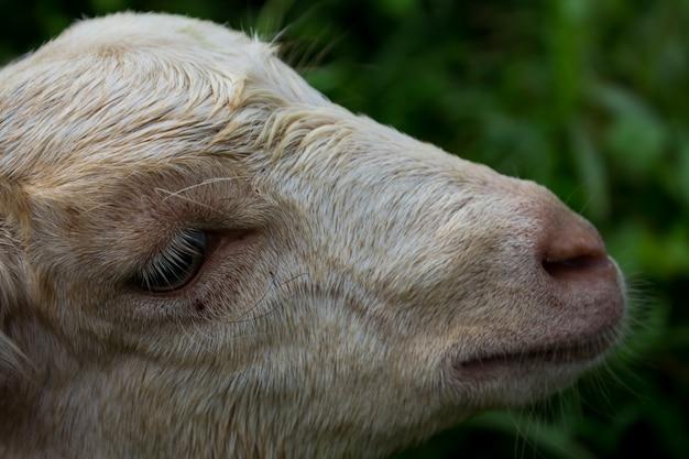 Tête de mouton Photo gratuit