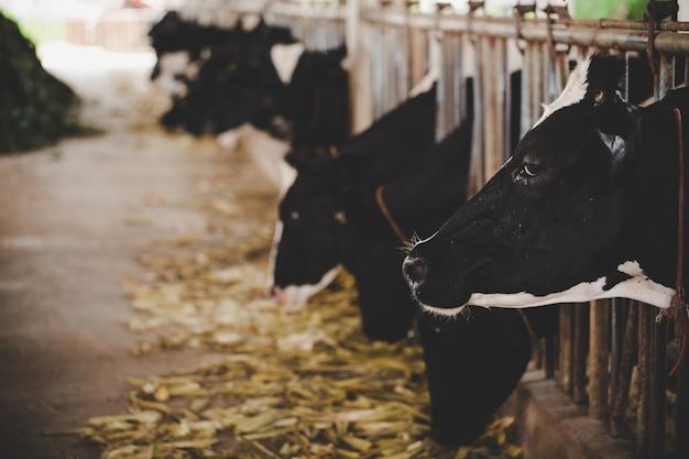 Têtes de vaches holstein noires et blanches se nourrissant d'herbe dans une écurie en hollande Photo gratuit