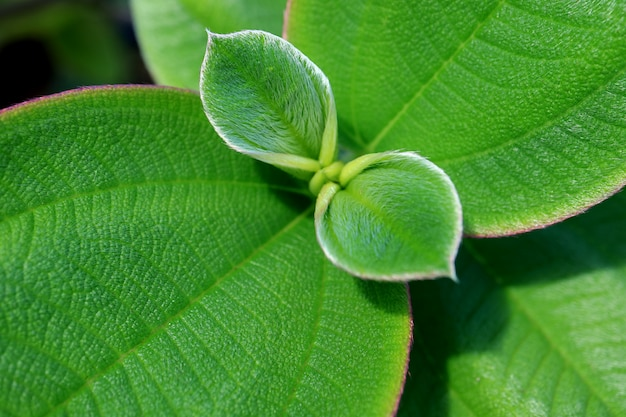Texture fermée de jeunes feuilles velues vertes Photo Premium