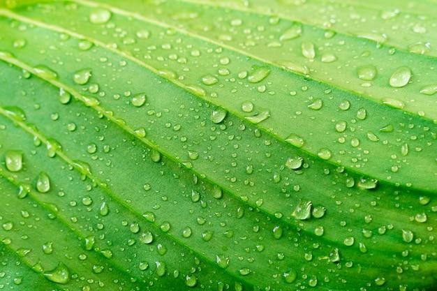 Texture De La Feuille Verte Agrandi Avec La Goutte De Pluie. Fond De Nature Fraîche. Photo Premium