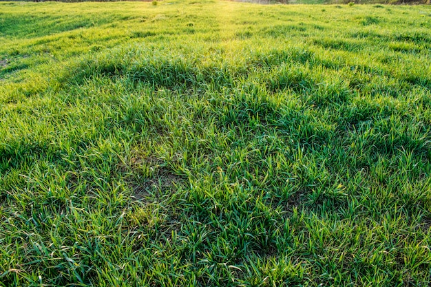 Texture d'herbe verte Photo Premium