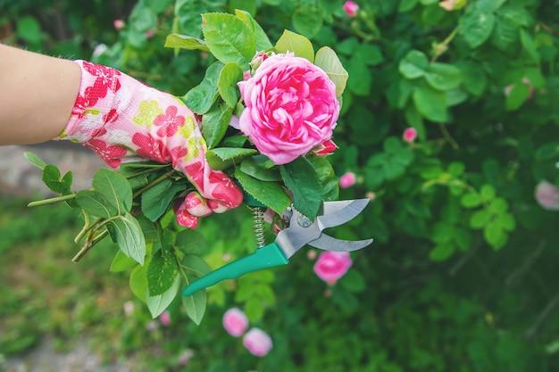 Thé jardinier élagage rose cisailles. mise au point sélective. Photo Premium
