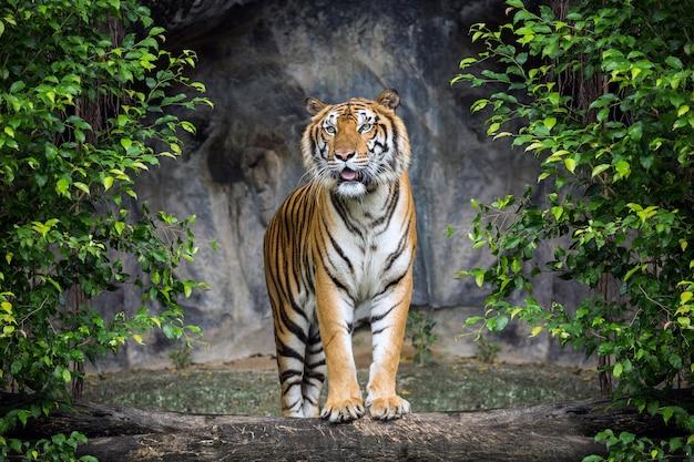 Tiger est debout dans l'atmosphère de la forêt. Photo Premium