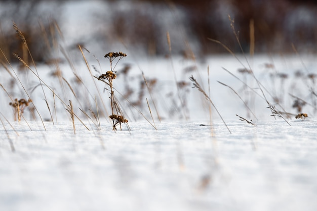 Des tiges d'herbe séchée jaillissant de sous la neige. Photo Premium