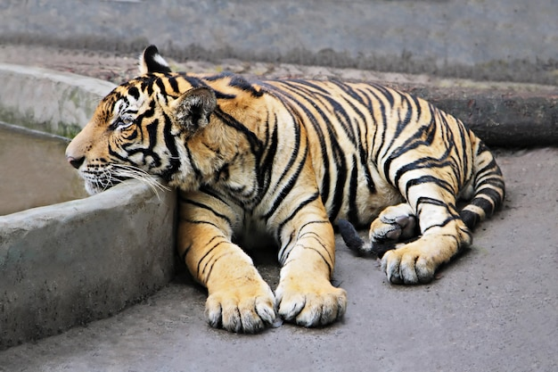 Tigre assis Photo Premium