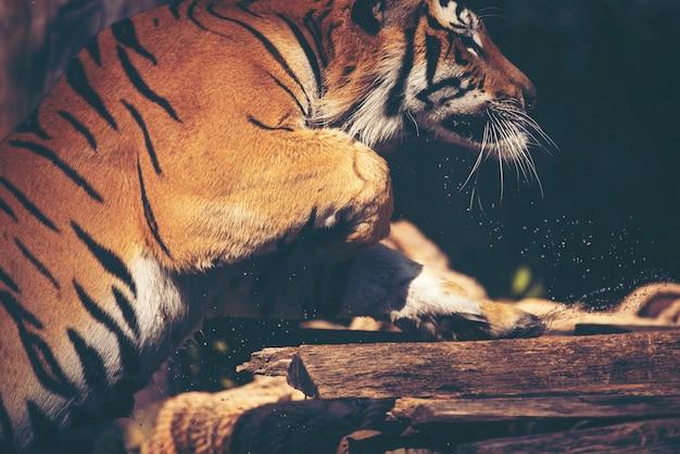 Tigre au zoo, action et spectacle au zoo Photo Premium
