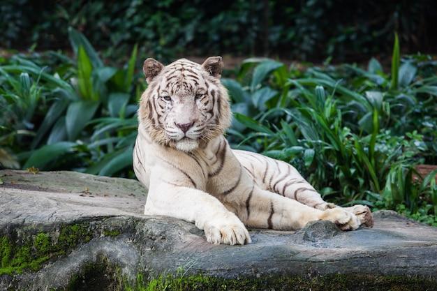 Le tigre blanc Photo Premium