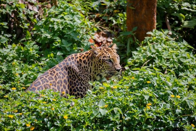 Tigre dans la forêt. Photo Premium