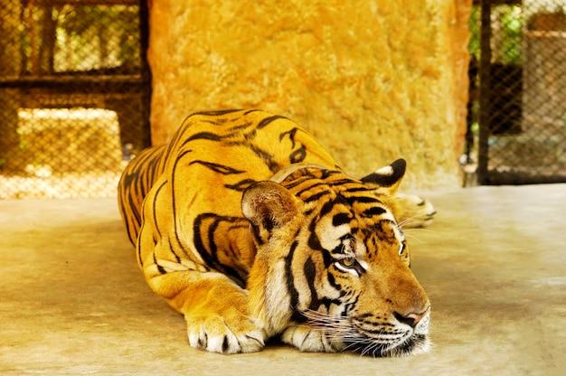 Tigre dans la rue Photo Premium
