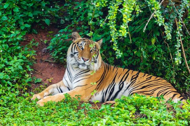Tigre Du Bengale Au Repos En Forêt Photo Premium