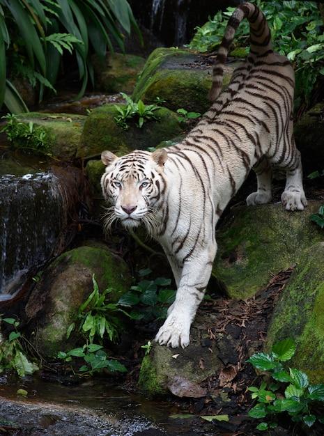 Tigre du bengale blanc sur la rive du fleuve Photo Premium