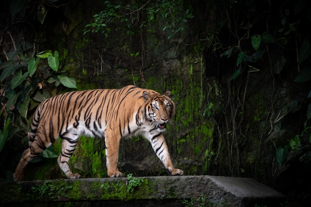 Tigre Du Bengale, Grande Faune Carnivore En Forêt Photo Premium