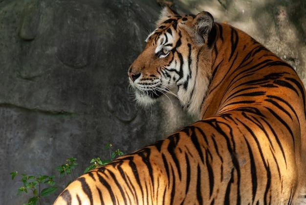 Un tigre du bengale en gros plan portrait avec forêt verte et fond de pierre Photo Premium