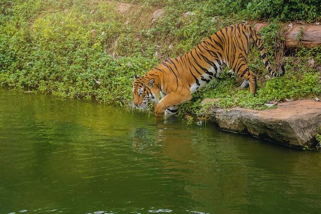 Tigre du bengale marchant dans l'eau au zoo. Photo Premium