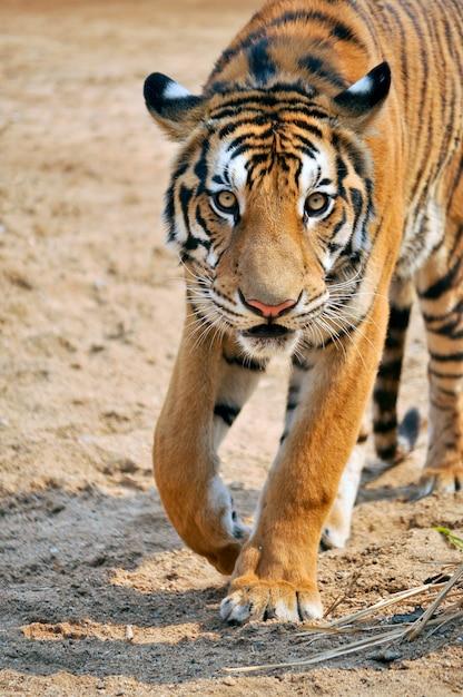 Tigre Du Bengale Photo Premium
