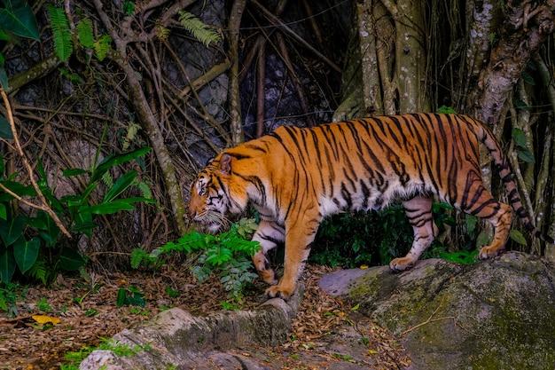 Le tigre est derrière les branches vertes. Photo Premium