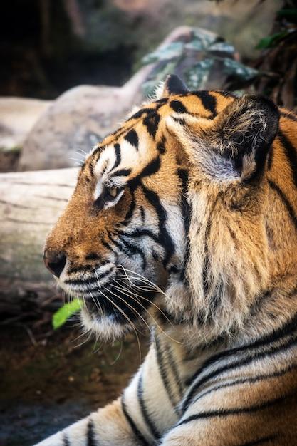 Tigre Féroce Terre Noire Fond Une Belle Lumière Photo Premium
