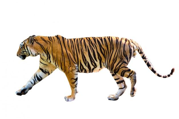 Tigre fond blanc isoler tout le corps Photo Premium