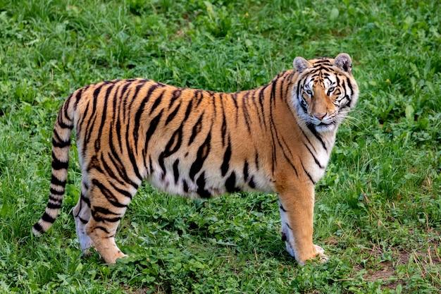 Tigre Incroyable Photo Premium