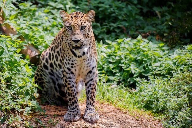 Tigre jaguar sérieux de la vue. Photo Premium