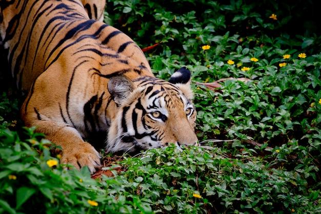 Tigre regardant sa proie et prêt à l'attraper Photo Premium