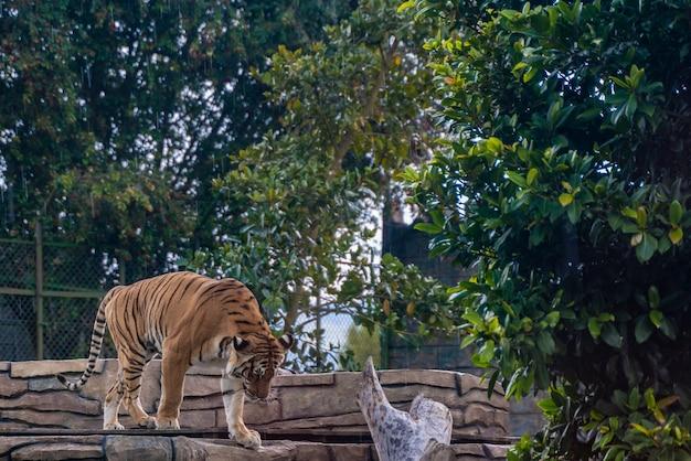 Tigre Reposant Dans L'herbe, Nature, Animaux Sauvages. Photo Premium