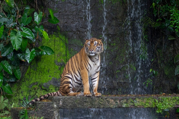 Tigre s'assied devant la cascade Photo Premium