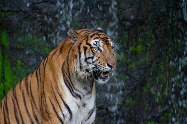 Tigre s'assied devant la cascade Photo Premium