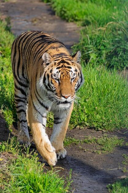 Tigre De Sibérie (panthera Tigris Altaica), Marchant Le Long D'un Chemin De Terre Avec De La Végétation, Avec La Lumière Du Soleil De L'après-midi Photo Premium