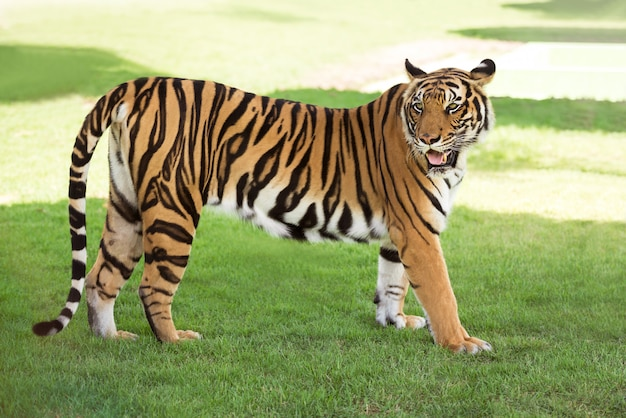 Tigre De Sibérie Photo Premium