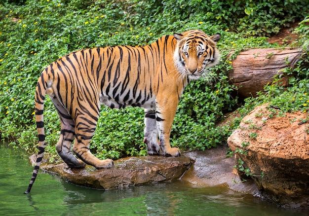 Tigre De Sumatra Debout Dans L'atmosphère Naturelle Du Zoo. Photo Premium