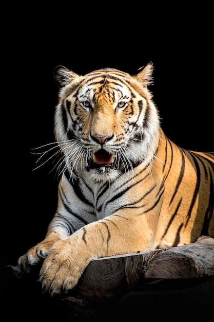 Tigre en thaïlande Photo Premium