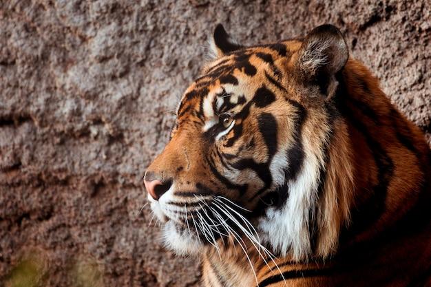 Tigre Photo gratuit