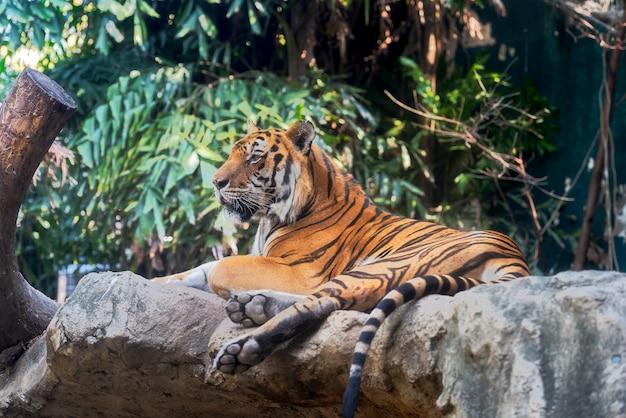 Tigre Photo Premium