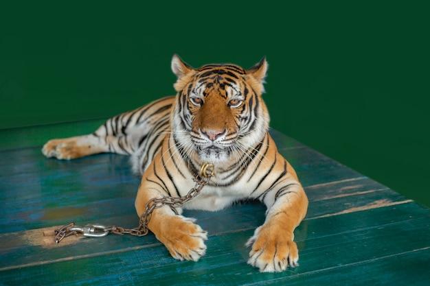 Tigres du bengale enchaînés sur des tables en bois pour touristes Photo Premium