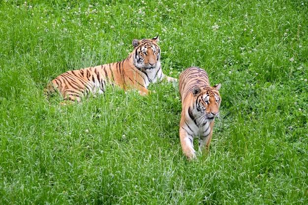 Tigres Tranquilles Se Trouvant Dans Le Champ Photo Premium