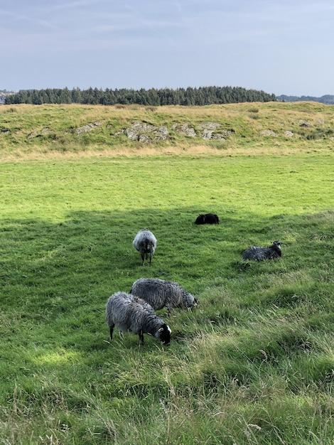 Tir Vertical De Plusieurs Moutons Paissant Sur Le Champ Vert Photo gratuit