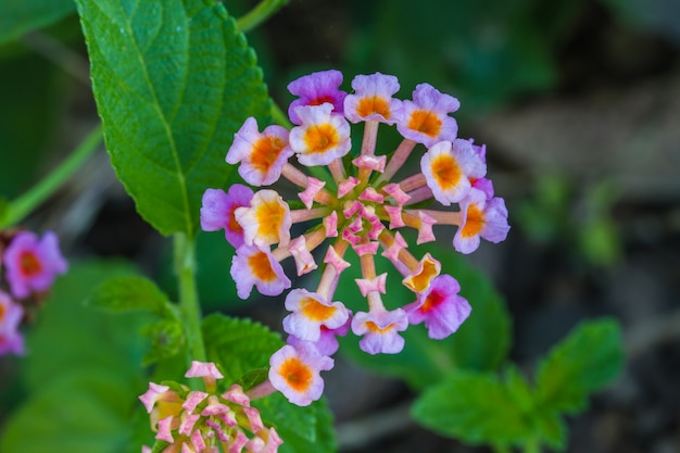 Tissu D'or Ou Lantana Camara Fleur Dans Le Jardin Photo Premium