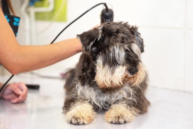 Toiletteur femelle coupe les poils de chien avec la tondeuse. femme travaillant dans l'animalerie. groomer coupe les poils de chien avec une tondeuse. Photo Premium