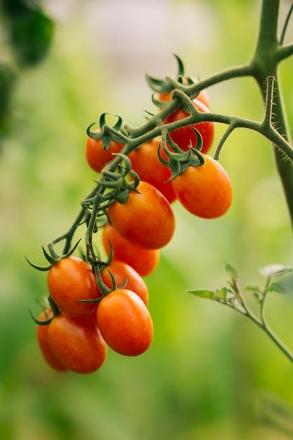 Tomates rouges biologiques dans le jardin Photo Premium