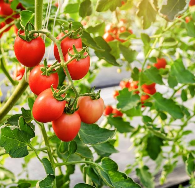 Tomates rouges immatures poussant sur la vigne Photo Premium