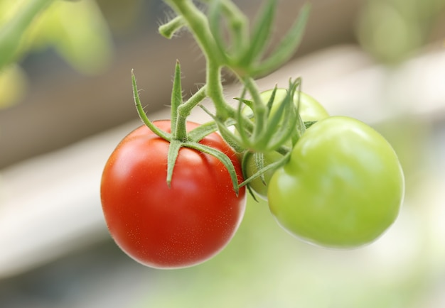 Tomates rouges et vertes Photo gratuit