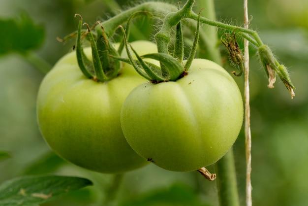 Tomates vertes dans le jardin, gros plan Photo Premium