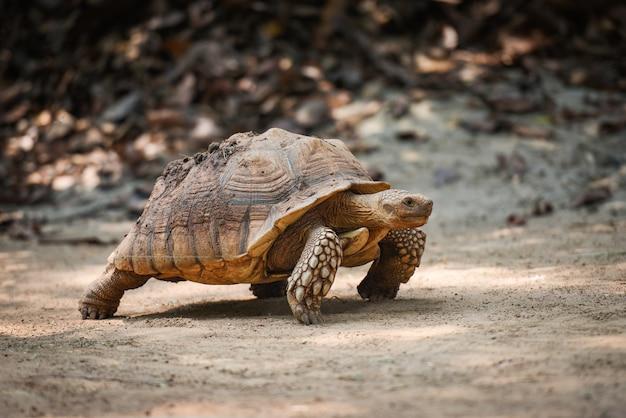 Tortue à éperons africaine / gros plan d'une tortue marchant Photo Premium