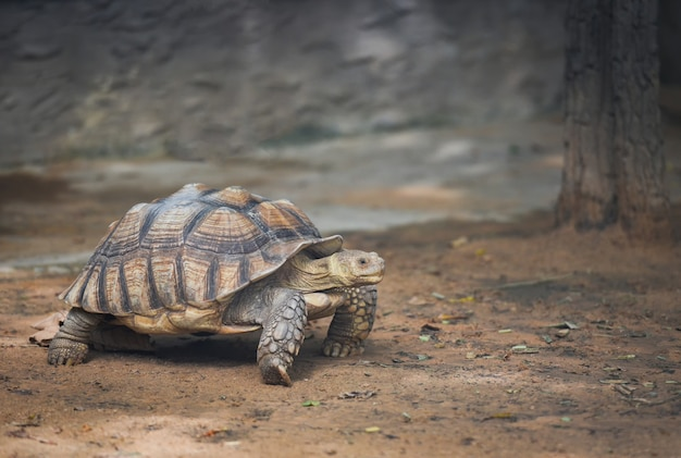 Tortue à éperons africaine marchant Photo Premium