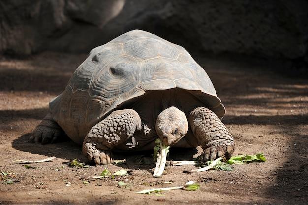 Tortue géante mange les verts Photo Premium
